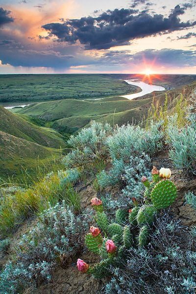 Prickly Pear and Ball Cactus along the canyon rim of the South Saskatchewan…