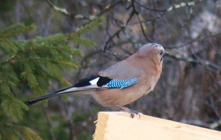 Fuglebrettet i Fagerli