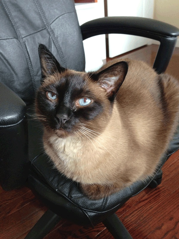 "Siamese cat that loves meat, one of the best cats ever! He is my ""meatheart""."