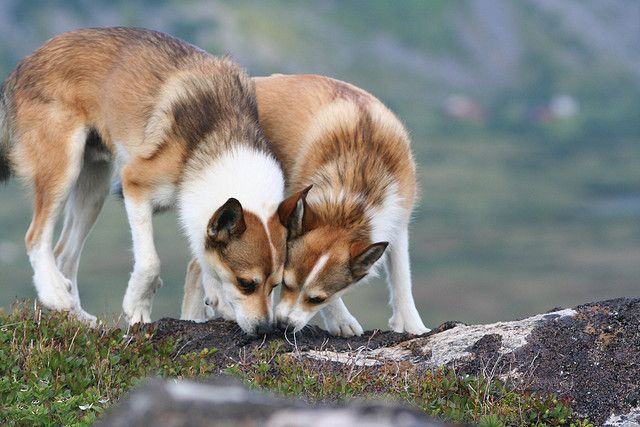 Norwegian Lundehund...rare dog breed from Norway.