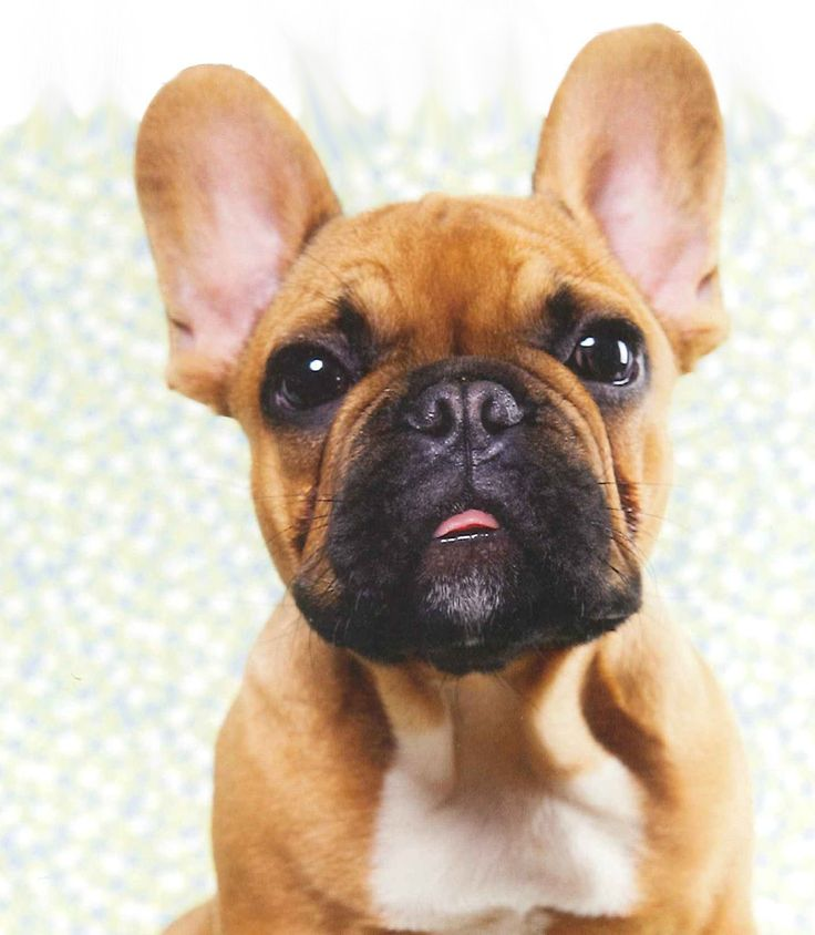 Come're. Good Girl! french bulldog sweetest pup from the calendar from the calendar Good BOy!