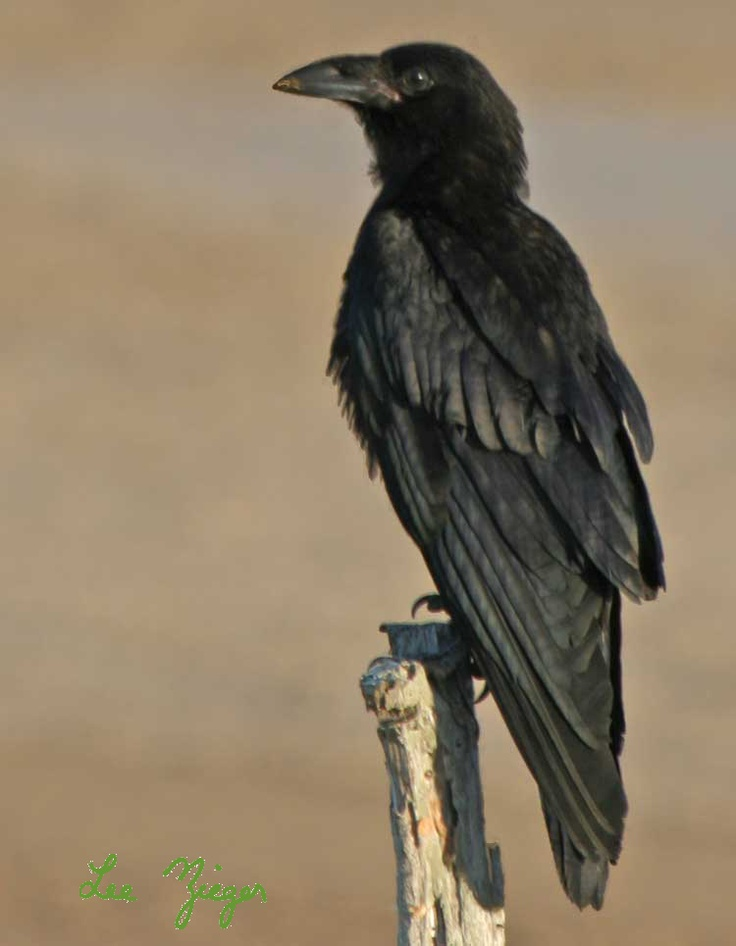 The feathers of this Chihauhuan Raven have been really well captured and it shows how large and shines their feathers are.