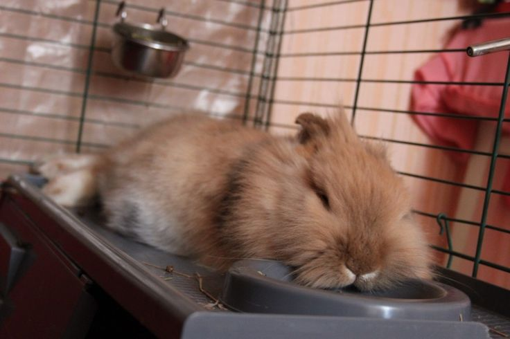 Домашний  кролик.