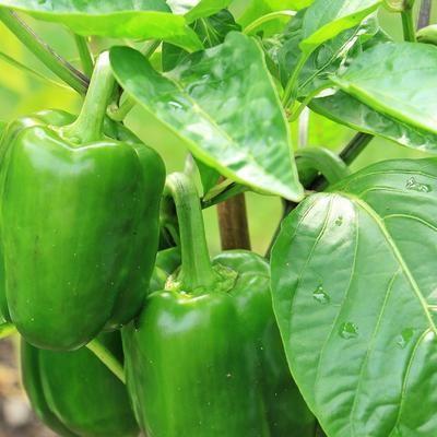 Как выращивать перец - советы Г.Кизимы