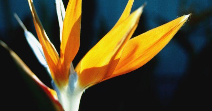Cómo cortar los tallos muertos de una planta del ave del paraíso  . El ave del paraíso es una planta de la familia Strelitziaceae que da unas flores que guardan un gran parecido con una especie de pájaros que recibe ese mismo nombre: ave del paraíso. Puede alcanzar una altura de más de 2 yardas (1,8 m) y un diámetro de unos 4 a 5 pies (1,2 a 1,5 m). Estas plantas perennes son de lento crecimiento; maduran tan ...