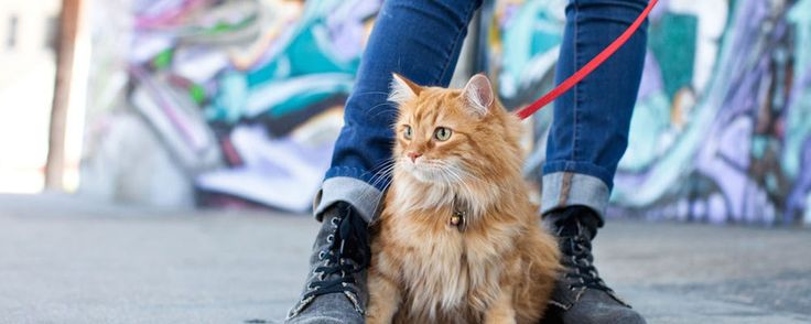 Learn how to leash train a cat with some easy to follow training tips. Leash training is a great way for you to bond with your cat and ensure a strong and healthy relationship