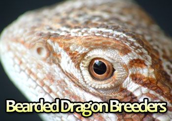 Bearded Dragon Breeders Around The World:  http://www.yourbeardeddragon.com/bearded-dragon-breeders/  #reptiles #pets #breeders