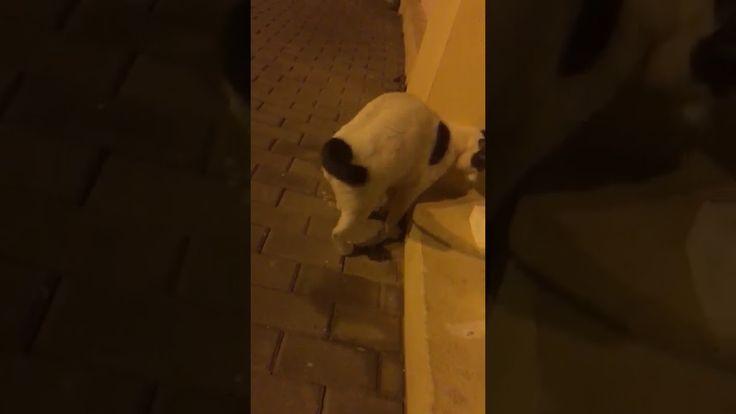 Gato muy manso encontrado en Telde  https://youtu.be/y50ySXBq4Mo  Ideal para una familia porque es muy manso y cariñoso
