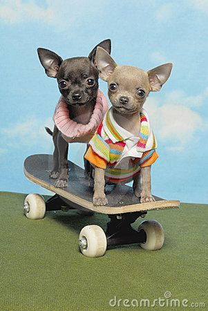 Chihuahua Puppies on a Skate Board