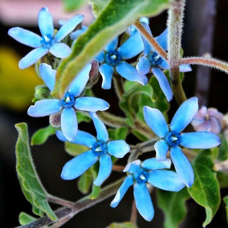 Truly blue flowers are rare in the garden, turquoise blooms rarer still. Tweedia caerulea is a tropical milkweed vine that blooms clusters of star-shaped pale blue flowers with turquoise centers all s