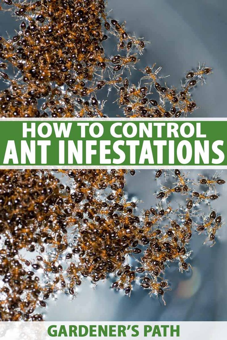 How To Control Ants In And Around Your Home In 2020 Diy Herb