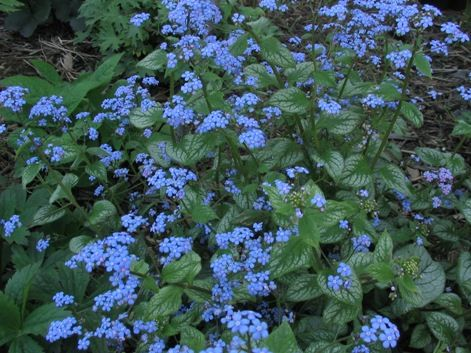 Brunnera (a.k.a., false forget-me-not) for the back garden (perennial; qty 3, variegated)