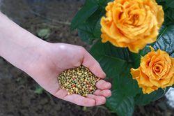 Rosen düngen – Wann und womit?