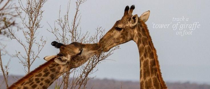 Giraffe feeding, such a wonderful sight.