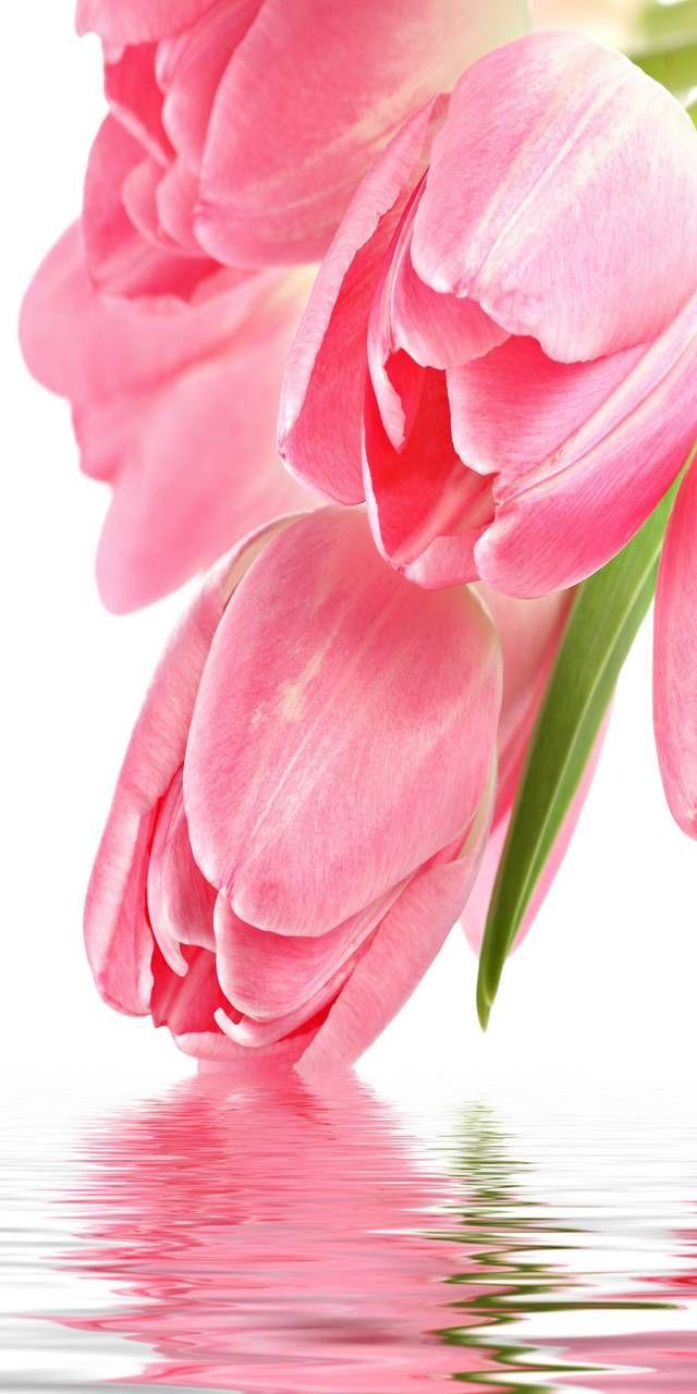 Tulipanes Rosados Flores Tulipanes Jardín De Tulipanes Arreglo Floral Rosas