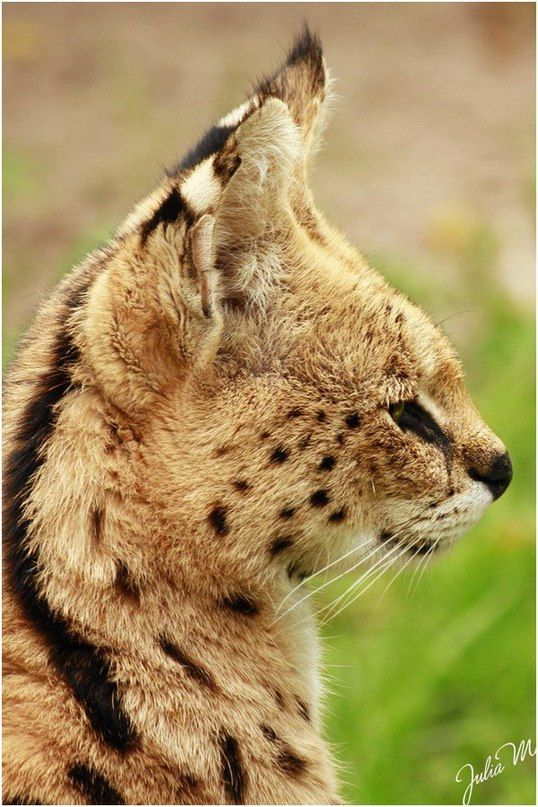 "SERVAL FACTS. (1) The Serval (Leptailurus serval) is a medium-sized African wild cat. DNA studies have shown that the Serval is closely related to the African golden cat and the caracal.  (2) ""Serval"" is Portugese for ""wolf-deer""  (3) A serval's hind legs are longer than its front ones (4) A serval's ears are the largest of any cat in comparison to its body size  (4a) It also has the longest legs of any cat in comparison to its body size."
