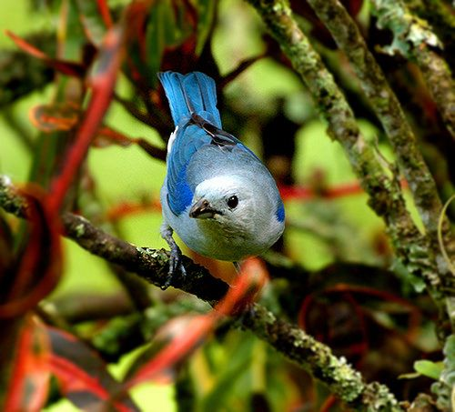 THRAUPIDAE - Thraupis episcopus - Blue-grey tanager - Tangara azulejo común 14CMS-96DPI 3   por Reserva Natural Palmari - Official site