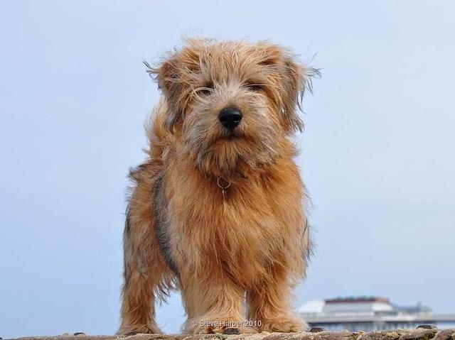 Norfolk Terrier Toby 2 SHP by Steve Harber Photography, via Flickr