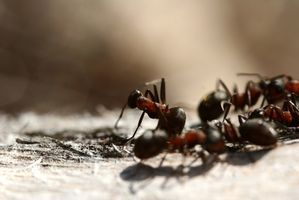 Home Remedies to Get Rid of Small Black Ants In a Home Kitchen thumbnail