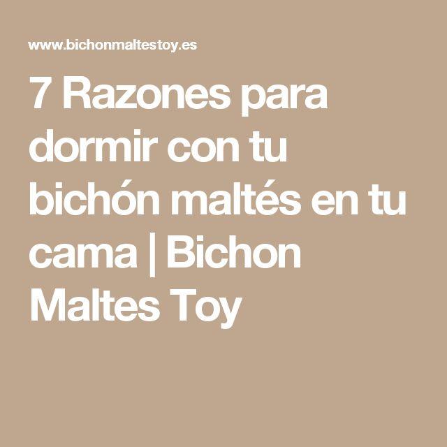 7 Razones para dormir con tu bichón maltés en tu cama | Bichon Maltes Toy