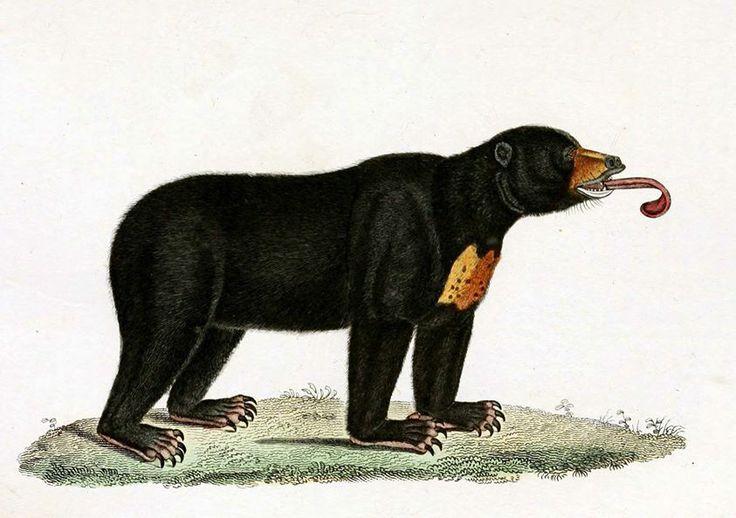 Niedźwiedź malajski /ours malais, Ursus malayanus/ (Lesson 1838)