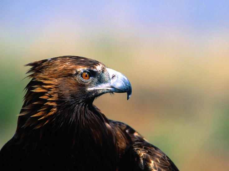 Best 25 Eagle wallpaper ideas on Pinterest Pictures of bald