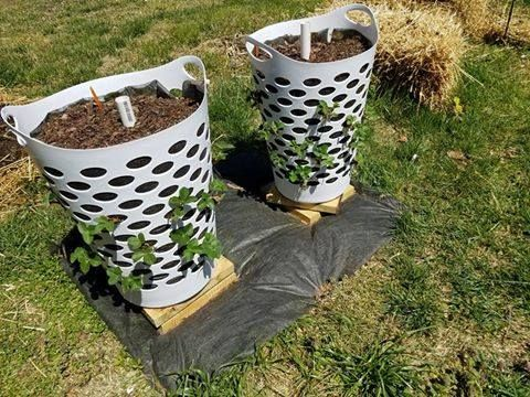 Using cheep plastic clothes hamper to grow strawberries. With a pipe in the top with holes drilled in it, so you can water the bottom plants