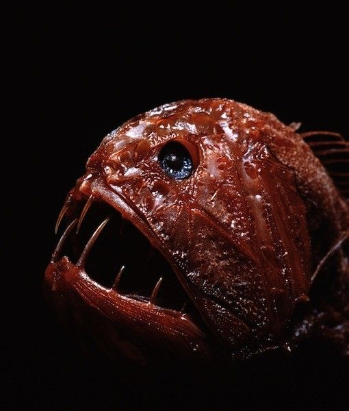The fangtooth, aka ogrefish, has the largest teeth of any fish proportionate to its body  size. The Fangtooth is among the deepest-living fish in the sea, dwelling as far as three miles deep in the ocean.