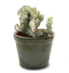 Euphorbia Lactea Silver Rp 65,000
