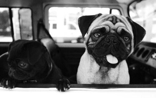 pugs pugs pugs ♥Dogs, Pug Life, Cars Riding, Adorable Pugs, Animal Friends, Black Pug, Pugs Pugs, Puggies, Pugs Life