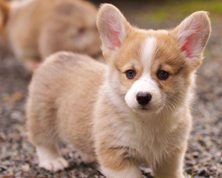 Corgi puppy!!!
