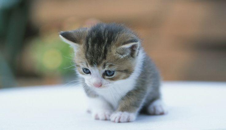Gato tierno pequeño