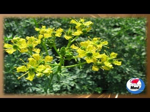 Las 6 plantas medicinales mas beneficiosas - YouTube