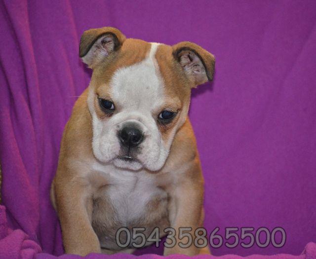 yavru bulldog fiyatı araştırma  http://english-bulldog.yavruilani.com/yavru-bulldog-fiyatlari-arastirma/