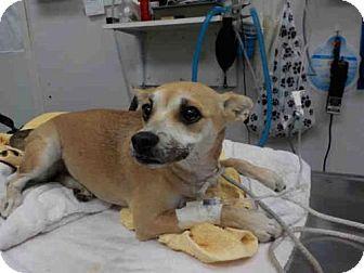 Long Beach, CA - Chihuahua. Meet BELLA, a dog for adoption. http://www.adoptapet.com/pet/17329676-long-beach-california-chihuahua