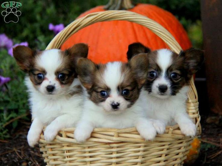 Papillon Puppies For Sale In PA!