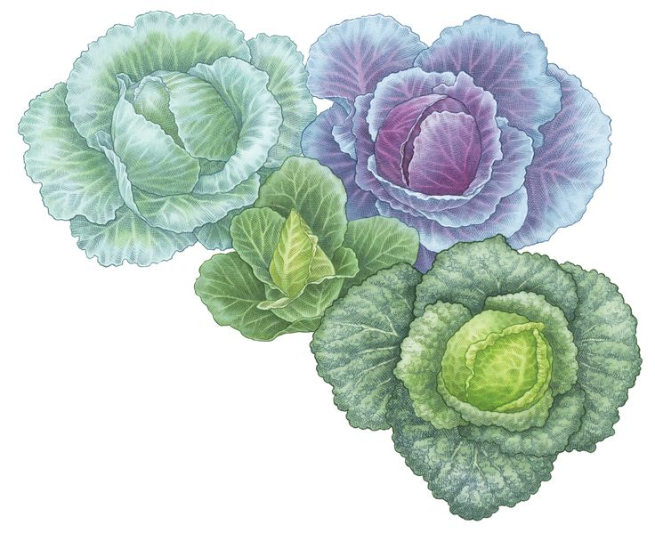 Green, Asian, pointed and red cabbages all make beautiful additions to your garden as well as nutritious options at your table.