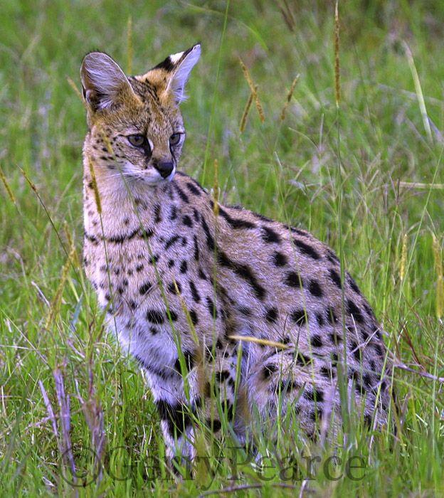 australian wildlife pics | Serval cat by Gerry Pearce