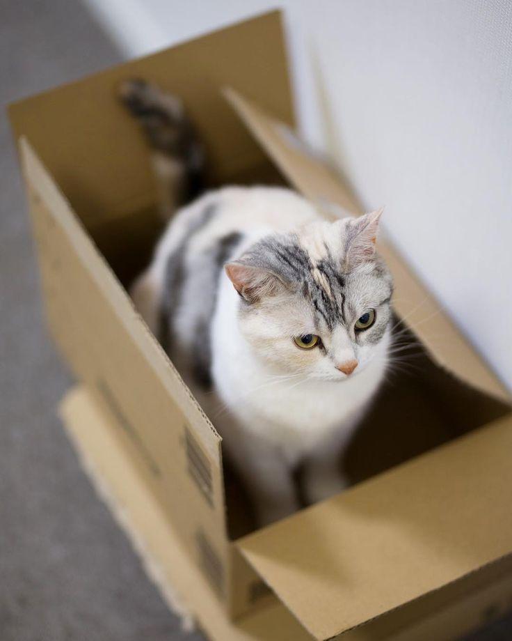 箱入り娘 #cat #neko #ScottishFold #猫 #ねこ #スコティッシュフォールド #catstagram #instagram #instagramjapan #ig_japan #igersjp #nekoくらぶ #nekoclub