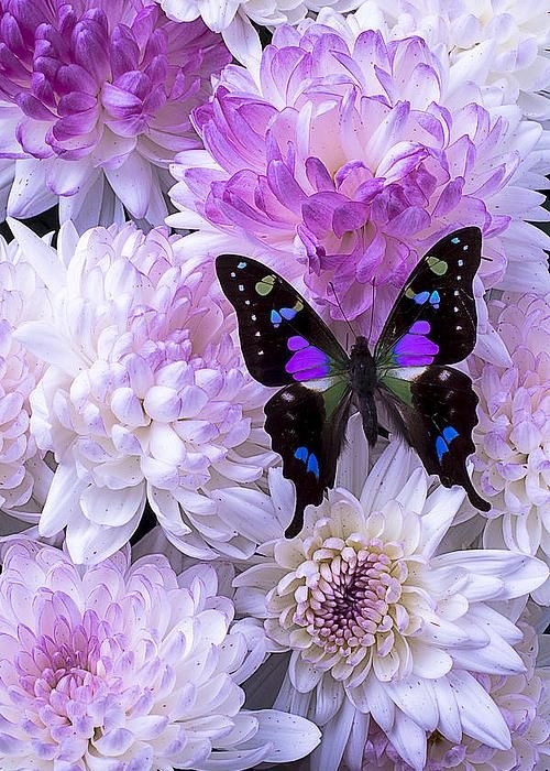Black and purple butterfly on mums by Garry Gay