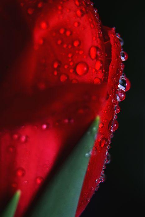 drops on a tulip