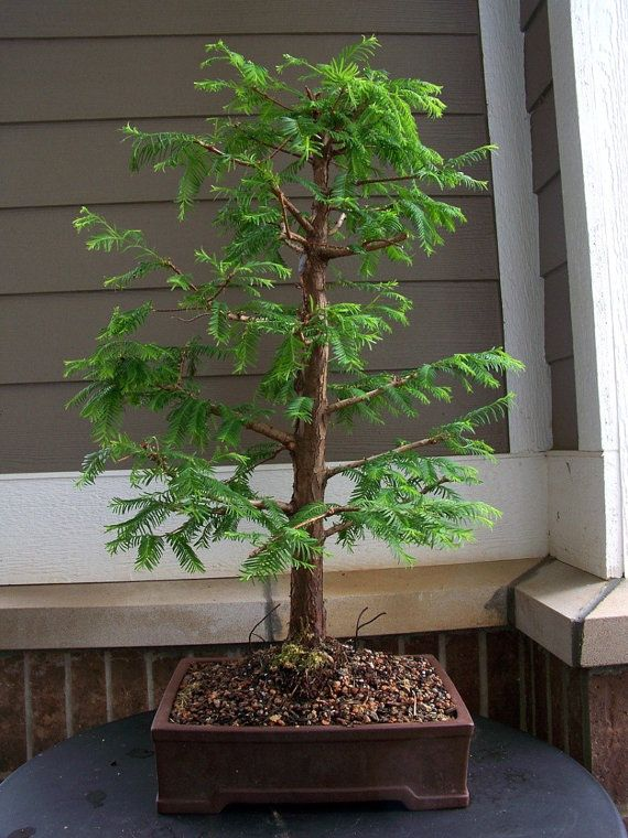 15 Dawn Redwood (Metasequoia Glyptostroboides) Seeds, Fresh Exotic Bonsai Seeds, Rare Bonsai Seeds  INCREDIBLY EASY TO GERMINATE - ALONG WITH Dawn