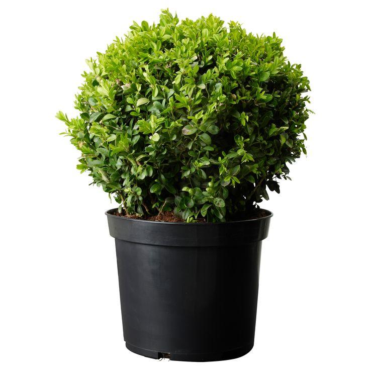 BUXUS SEMPERVIRENS Растение в горшке - IKEA