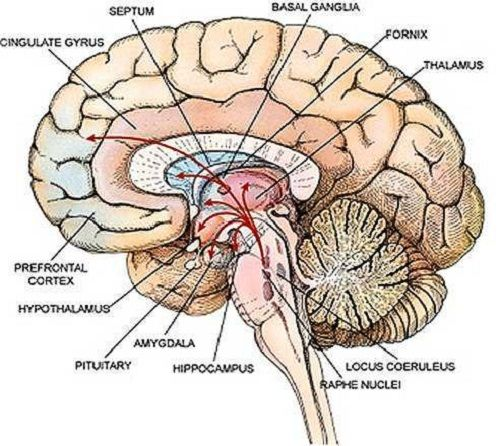 68 best images about neuro on Pinterest | Brain anatomy, Human ...