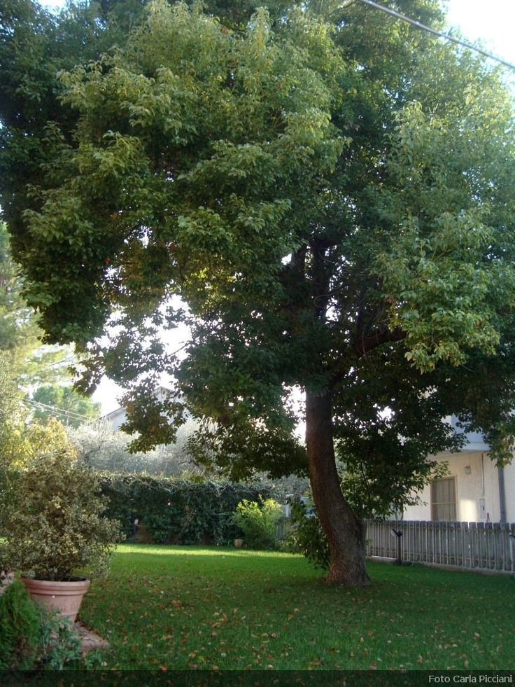 Cinnamomum camphora - 40 years old