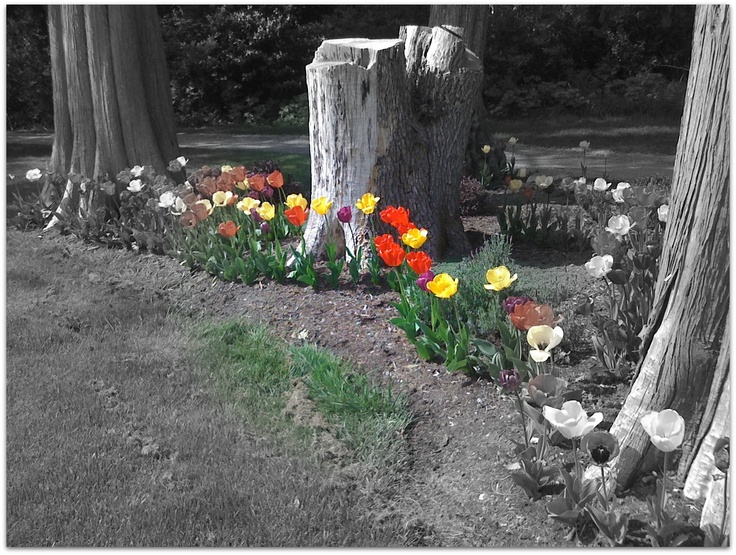 Point Roberts Golf Course Tulips