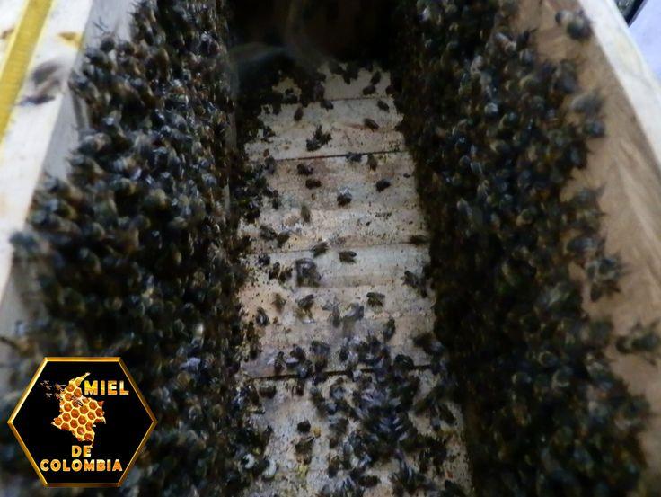 Cuando se compara entre tipos de abejas, no hay duda de que las abejas africanizadas son significativamente más defensivas que las europeas. Inicialmente se creía que al cruzarse con abejas europeas, los descendientes de las abejas africanas disminuirían su comportamiento defensivo. Sin embargo, múltiples estudios han mostrado repetidamente que las abejas de origen africano pueden picar de 5 a 20 veces más que las de origen europeo.