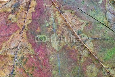 texture of the dried maple leaf