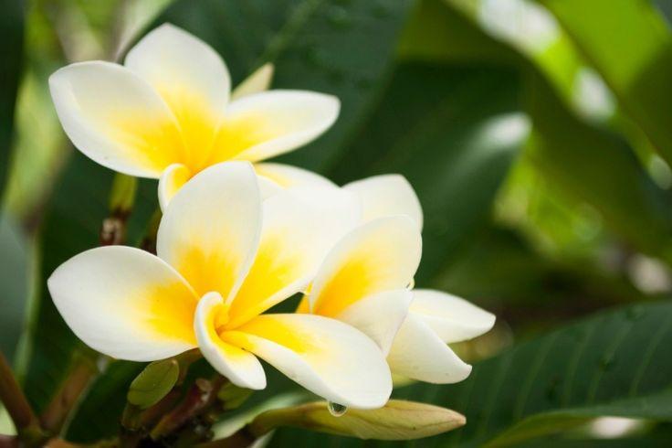 Jasmim Manga (Plumeria rubra): árvore que atinge até seis metros de altura, com folhas que caem durante o inverno e floração que começa no final do período de frio. Suas inflorescências são perfumadas e utilizadas na confecção dos típicos colares havaianos
