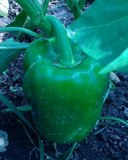 how hydrogen peroxide affects the growth of tomato plants The hydrogen peroxide releases dissolved oxygen at the roots, replenishing the supply until the plants can absorb some of the water and reopen the air pockets in the soil.